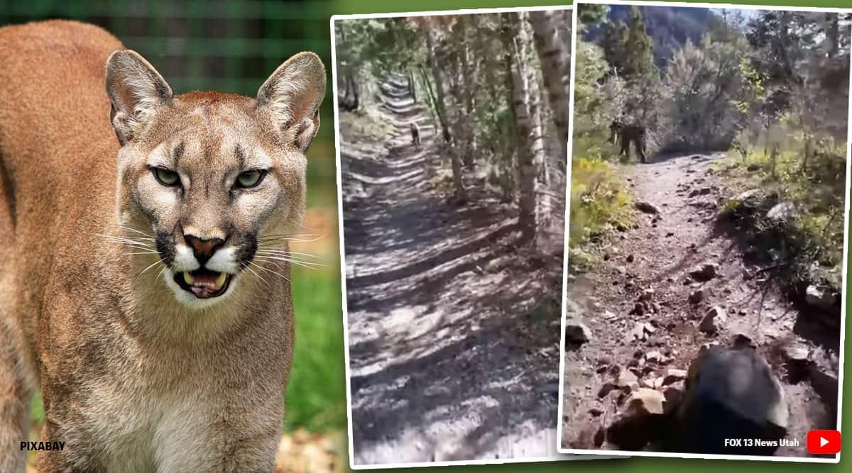 Utah man chased by a mountain lion, Utah man chased by a mountain lion viral video, mountain lion, mountain lion video, viral video, trending, indian express, indian express news