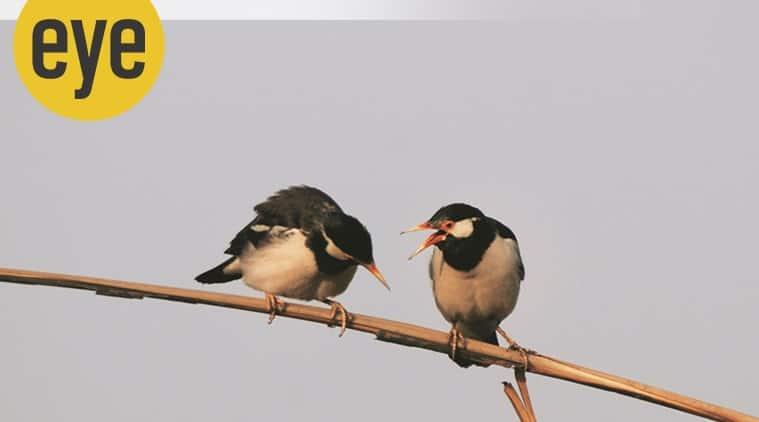 Mynahs wildlife, Mynahs what to learn, indianexpress, ranjit column, sunday eye, eye 2021,