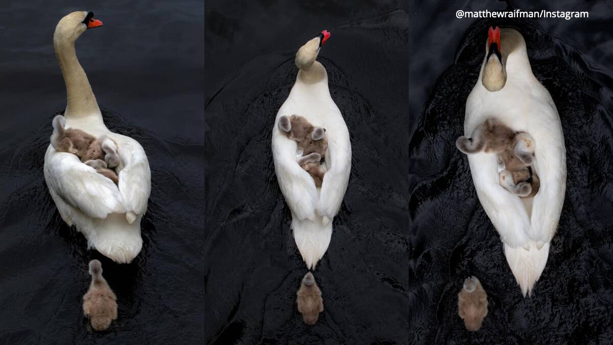Heartwarming photo of father swan carrying babies leaves the internet emotional