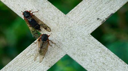 Brood X cicadas emerge after 17 years, New Jersey cicada emergence, rare cicada emergence New Jersey, once in 17 years, indianexpress.com