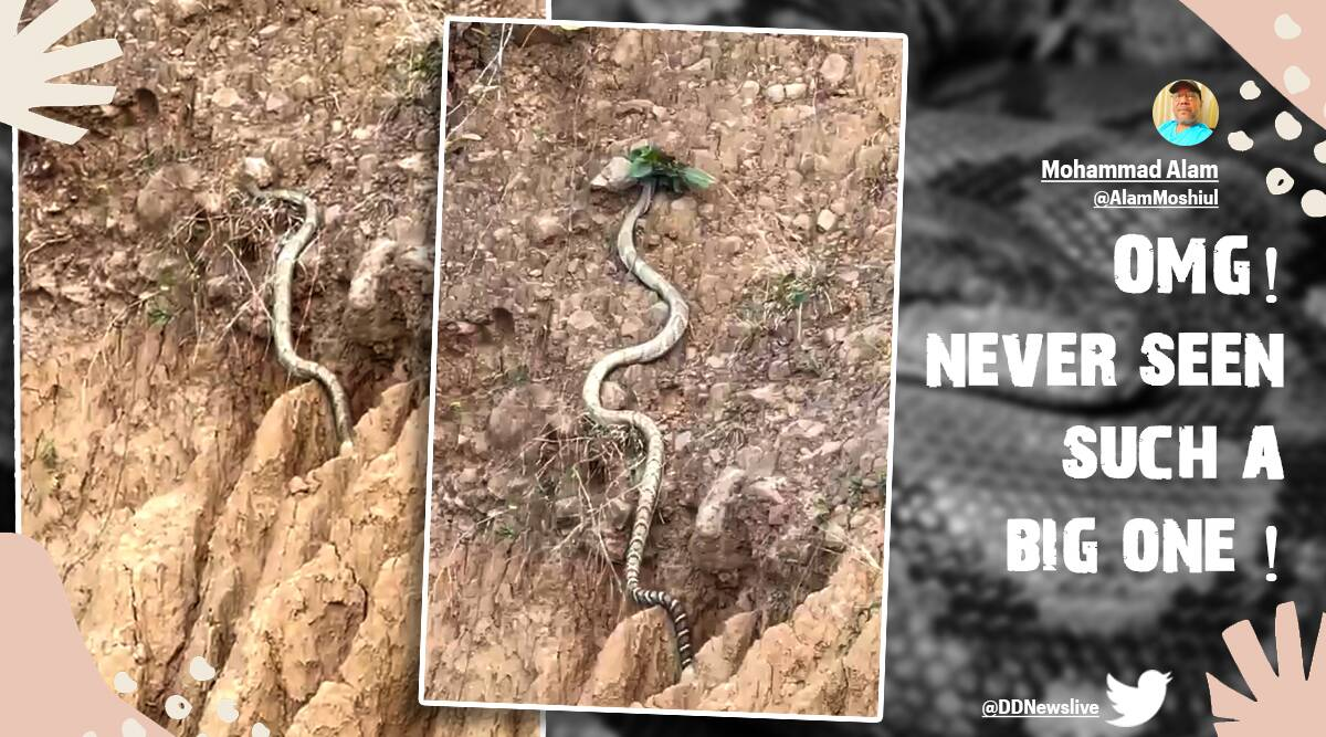 While they are 10 to 13 feet on average, the reptile documented was reportedly one of the longest King Cobra snakes to have been seen in recent times.