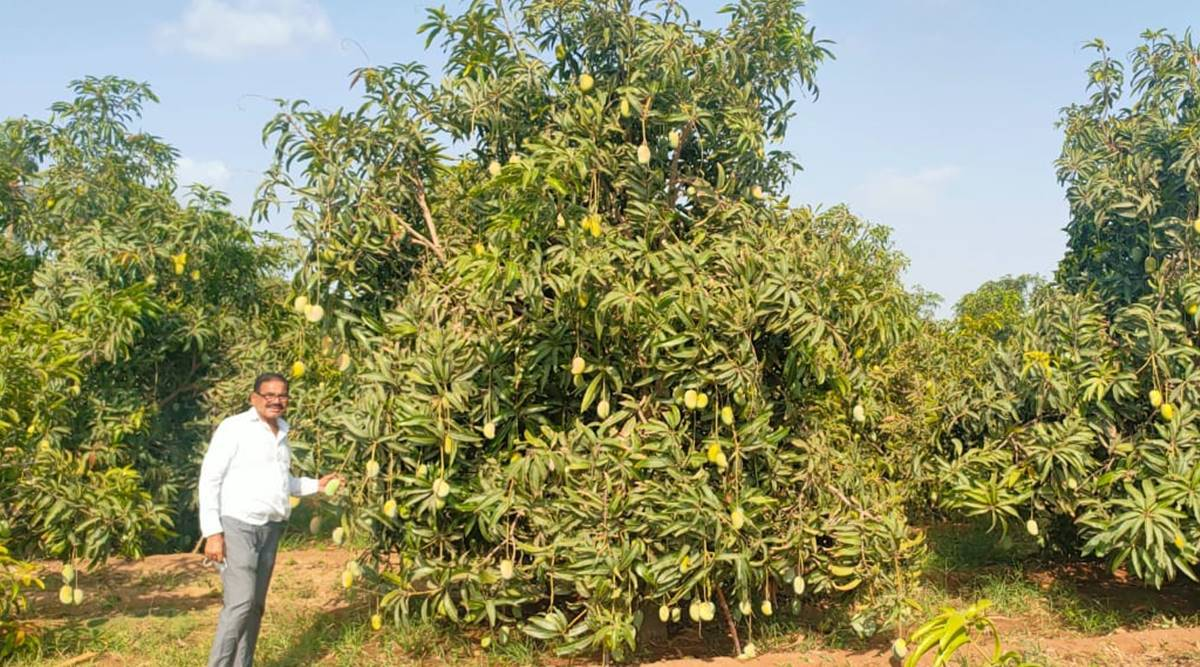 Cyclone impact: Kutch mangoes get a boost as orchards in Saurashtra suffer major damage