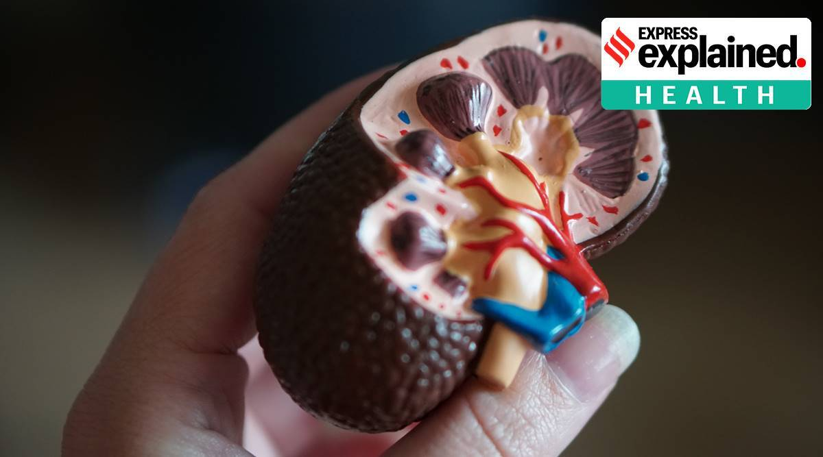 Explained, Explained Health, kidney, COVID-19, coronavirus affecting kidney, kidney diseases, kidney defects, indian express explained