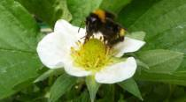 New research: Caffeine helps bumble bees pollinate better