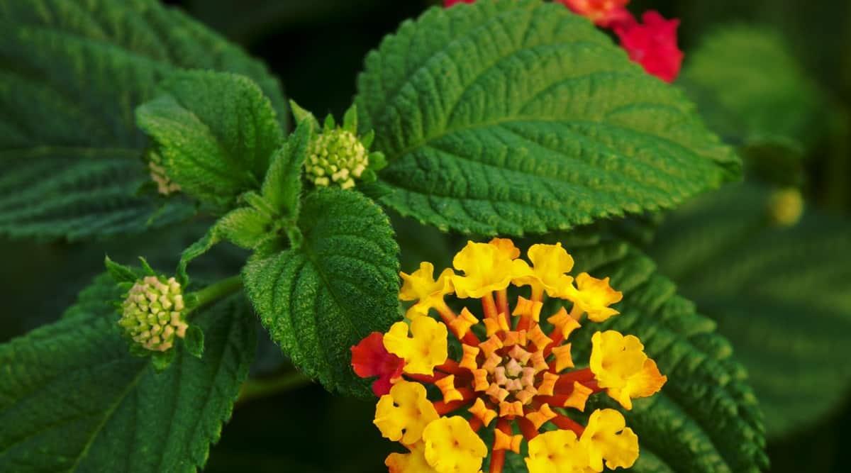 Lantana flower and leaves