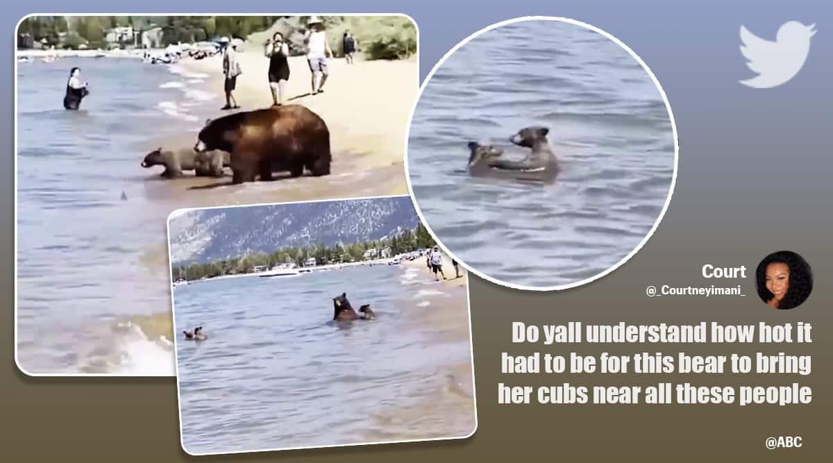 bear mother cubs lake tahoe, bear family cool off lake tahoe, bears bathe in beach, viral video, california heat wave, indian express