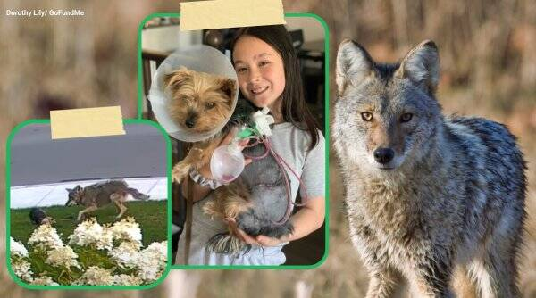 dog saves girl from coyote, tiny dog fight coyote, toronto yorkie coyote fight, coyote attacks little girl dog, viral news, good news, indian express