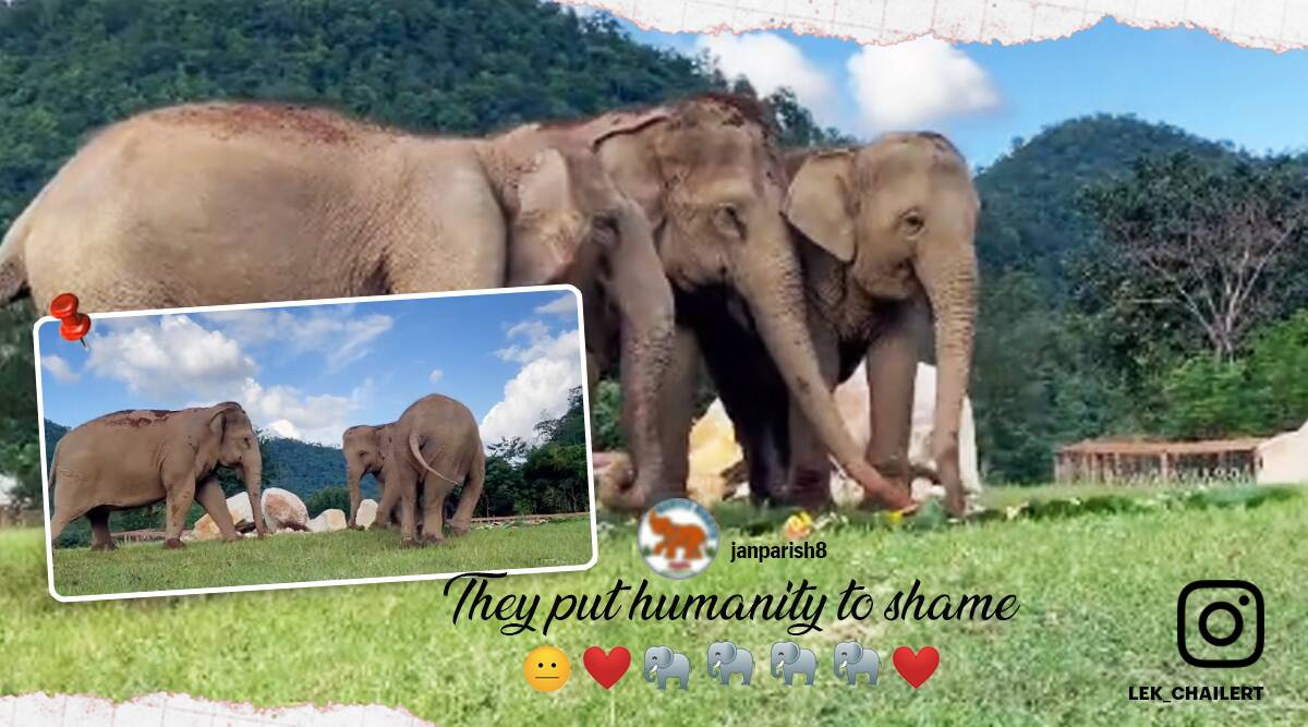 Elephant guiding blind elephant towards food, viral video, Elephant Nature Park , Thailand, Trending news, Indian Express news