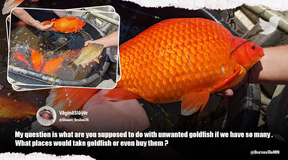 Pet goldfish monstrous size Minnesota, Minnesota goldfish, giant goldfish, over sized goldfish, twitter reactions, Trending news, Viral news, indian express, indian express news