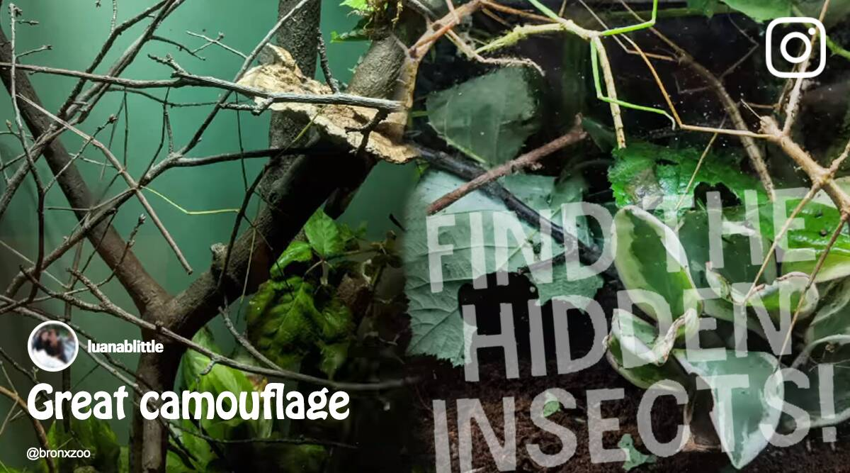 can you find the hidden insect, insects viral video, Bronx Zoo, Bronx Zoo puzzle viral video, trending, indian express, indian express news