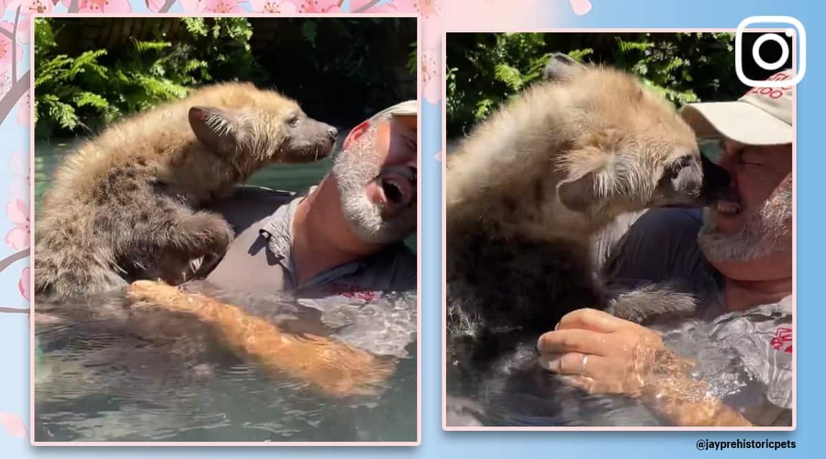 kisses from hyena, Jay Brewer Reptile Zoo California, hyena viral video, hyena trending, cute animals, wild animals, trending, indian express, indian express news