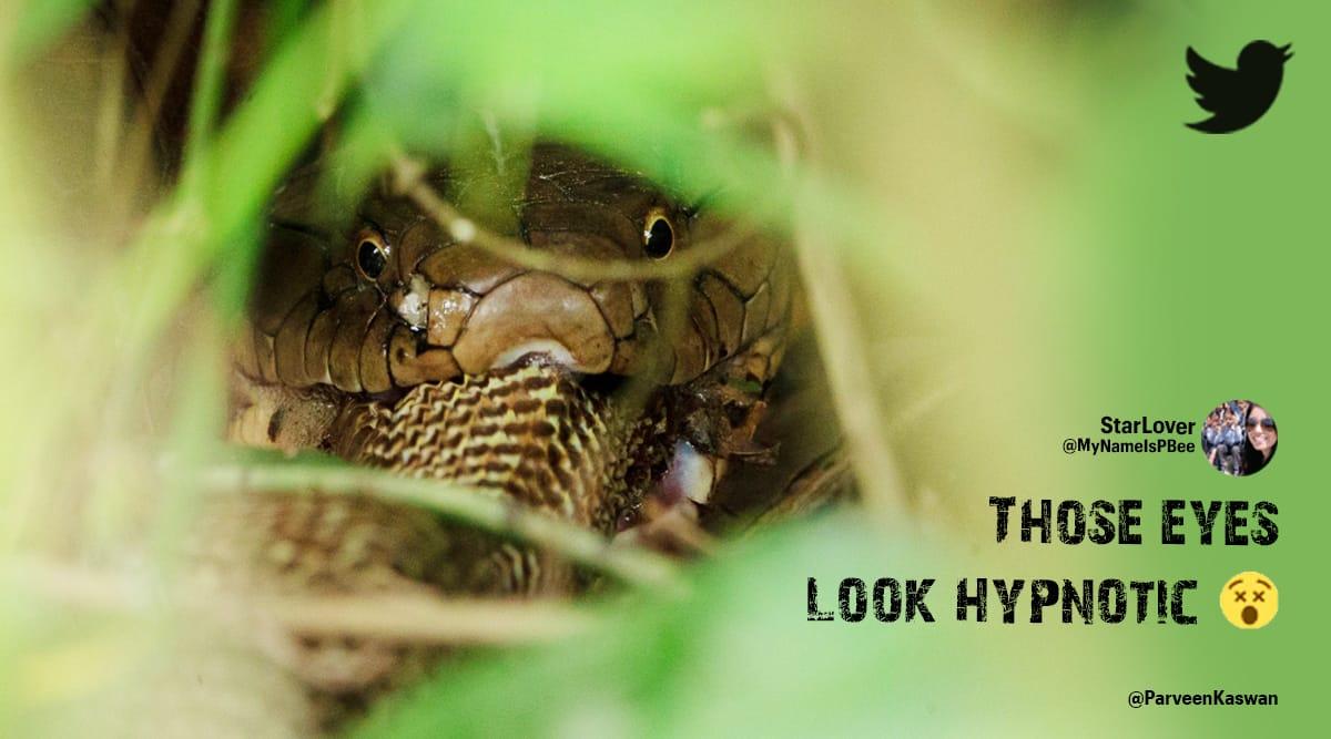 king cobra, snakes eating snakes, king cobra eating indian cobra, king cobra prey pictures, parveen kaswan, snake videos, indian express