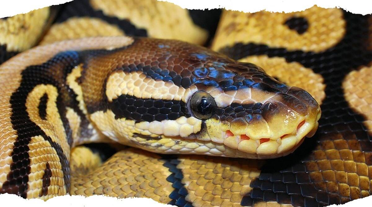 python, python rescue UNA, python rescue HP, giant snake rescue, rescue mission, facebook, indian express, indian express news
