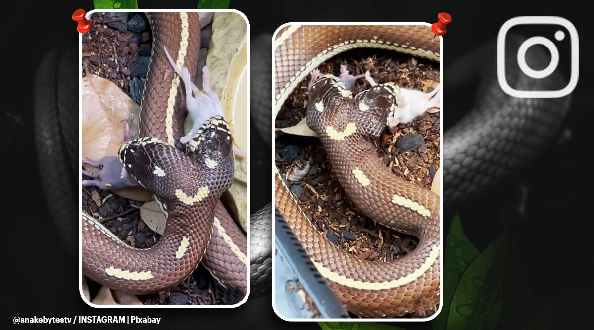 two headed snake eating mice, two headed snake viral video, two headed snake twitter reactions, two headed snake, indian express news