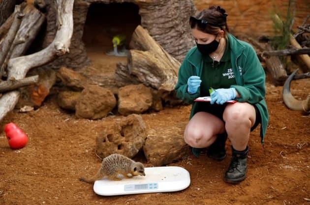 Meerkat, where is Meerkat found, what is Meerkat