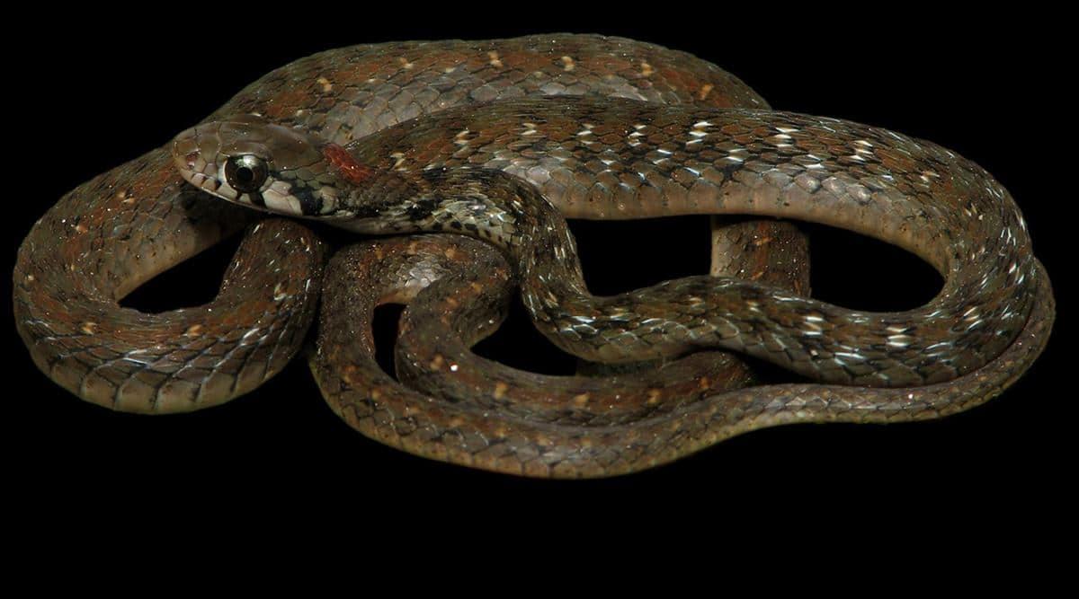 New snake Assam
