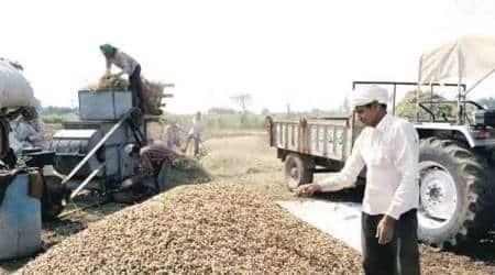Groundnut, Gujarat Groundnut production, Gujarat, Gujarat news, Rajkot news, Indian express news, Indian express