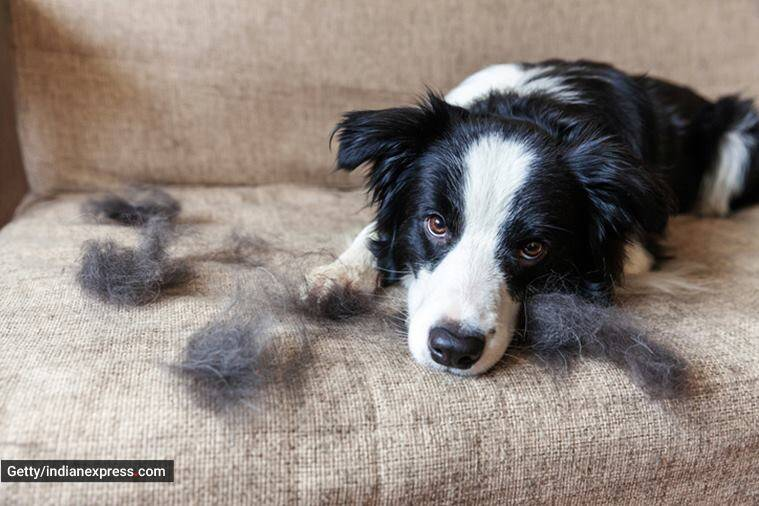 pet hair, tips to manage pet hair, how to clean pet hair, pet hair shedding season, why do pets shed hair, pet care, easy pet care tips