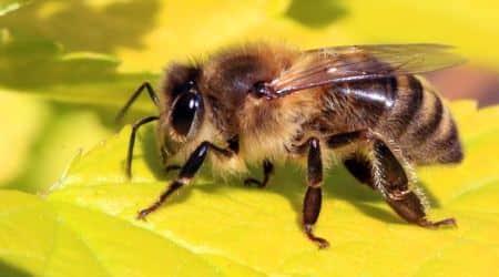 honey bee decline