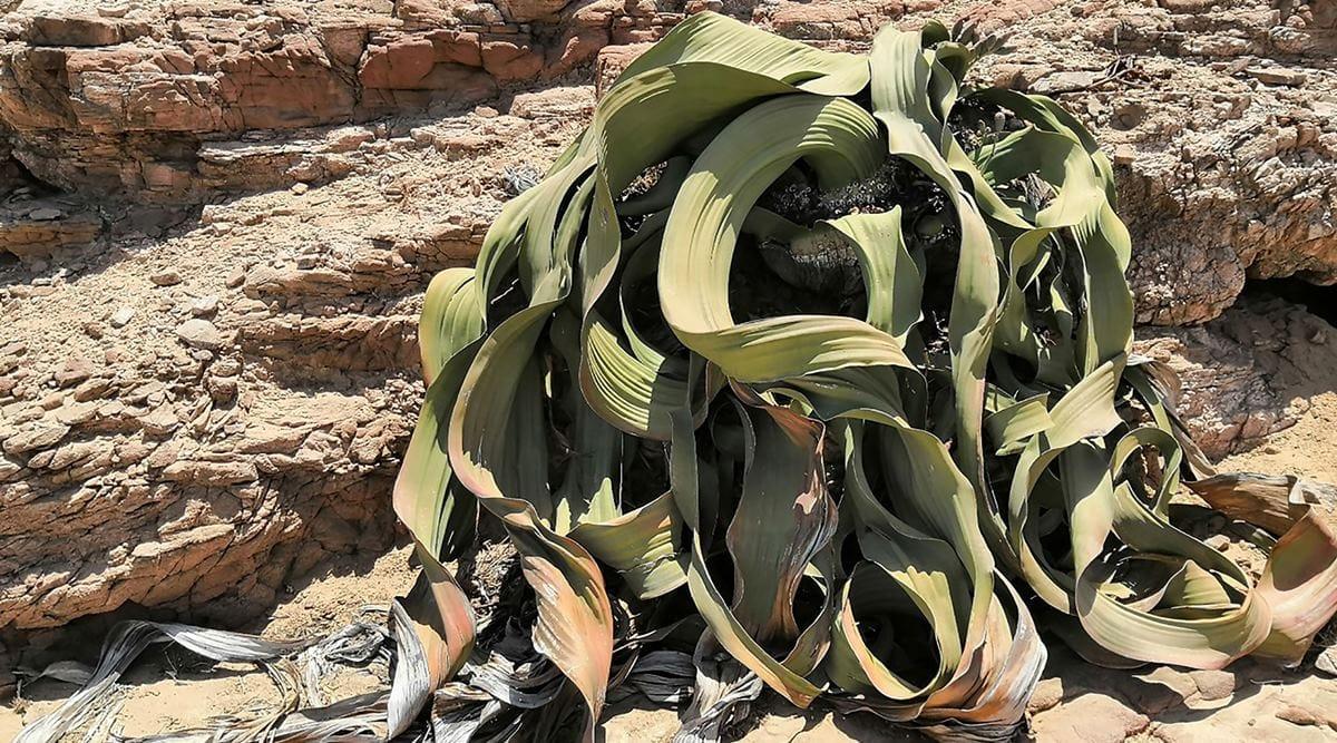 A plant that 'cannot die' reveals its genetic secret