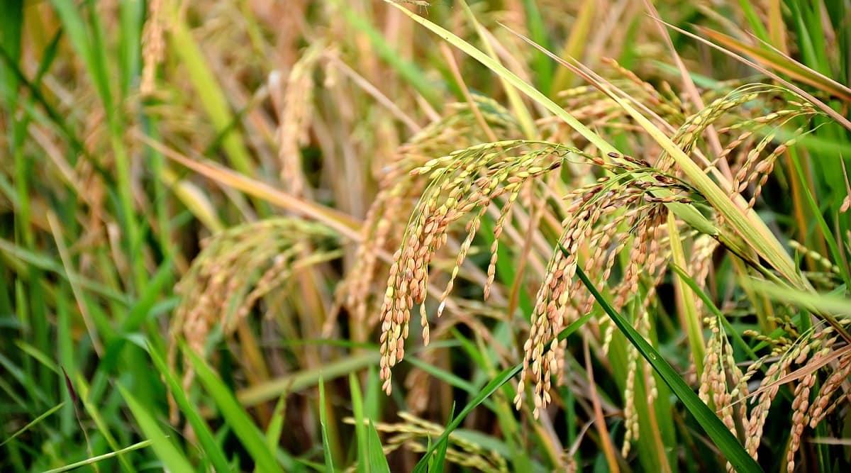 Genetic tweak could increase yield, boost drought tolerance in rice, potato: study