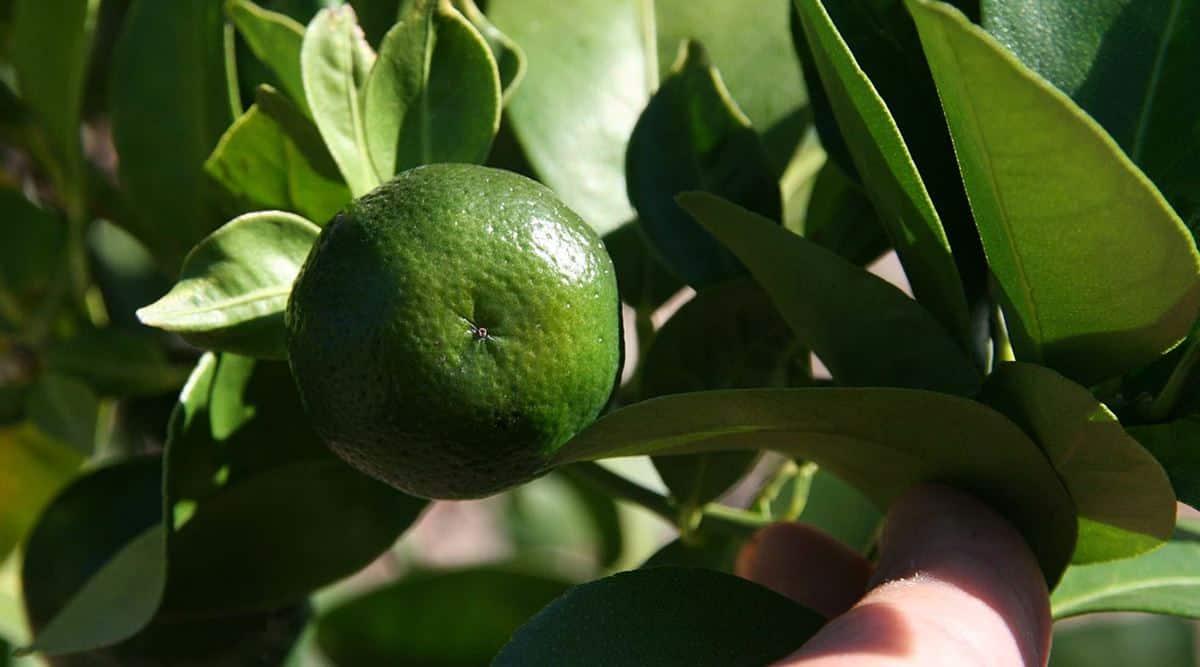 Genomic analysis helps unravel the juicy past of flat lemon thumbnail