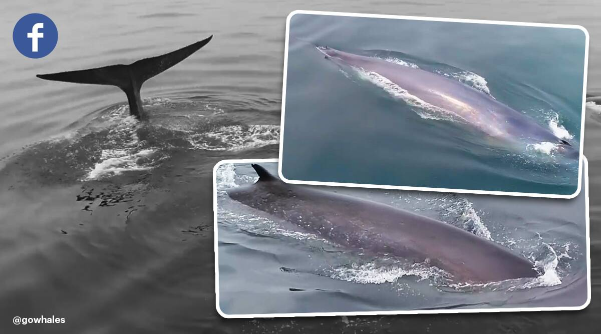 Blue whale, blue whale san Francisco, san Francisco, blue whale spotted, indian express trending, indian express