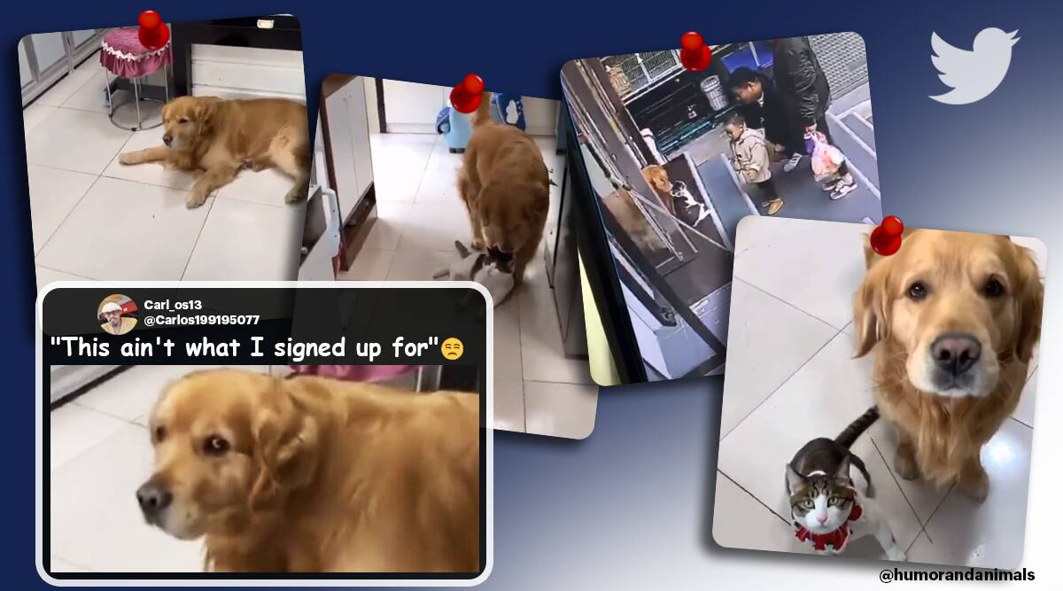 dog drag a cat, dog drags cat inside on owners instruction, funny dog cat video, funny pet videos, cat dog relationship video, indian express