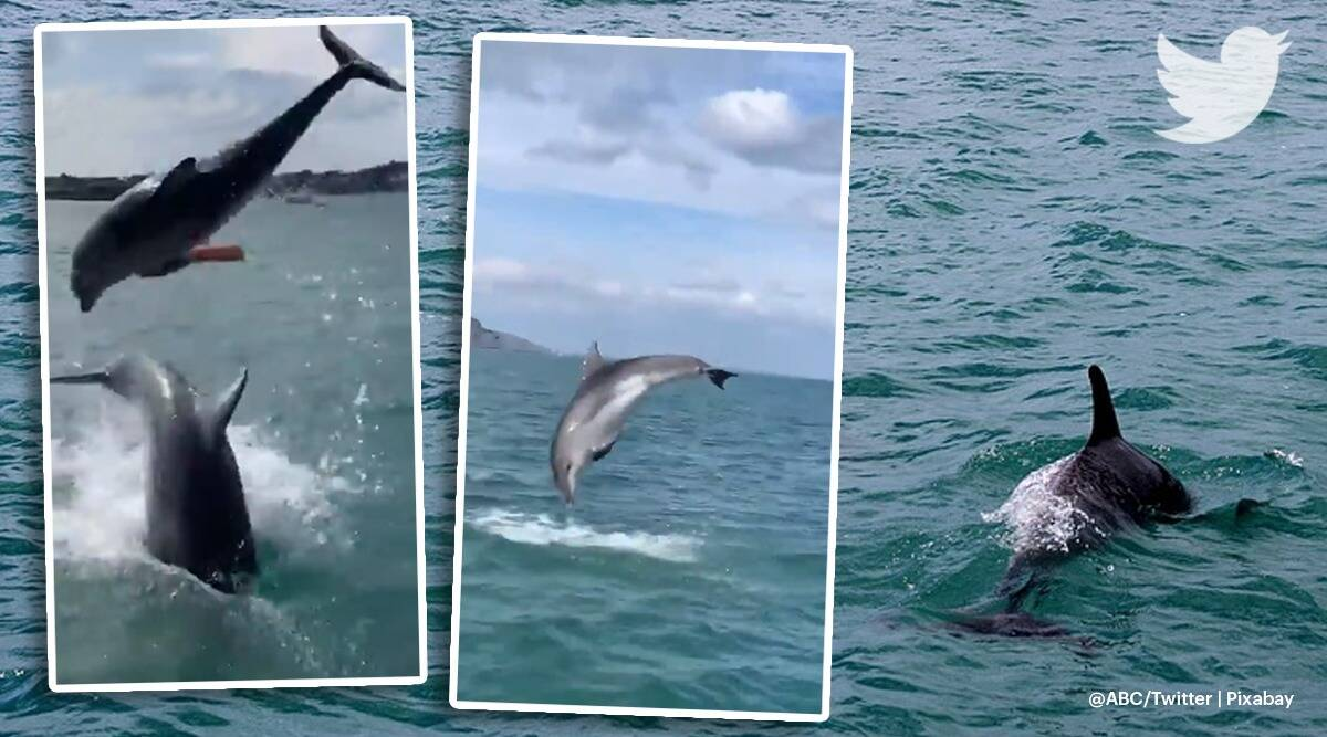 Dolphins, Dolphin performance off English Coast, impromptu performance by dolphins, viral video, twitter reactions, indian express, indian express news