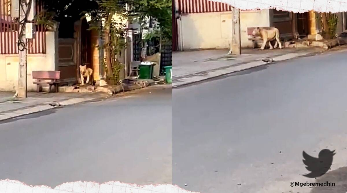 'Pet Lion' spotted wandering the streets of Phnom Penh after escaping from villa, Cambodia, Cambodia pet lion viral video, Cambodia pet lion viral story, trending, indian express, indian express news