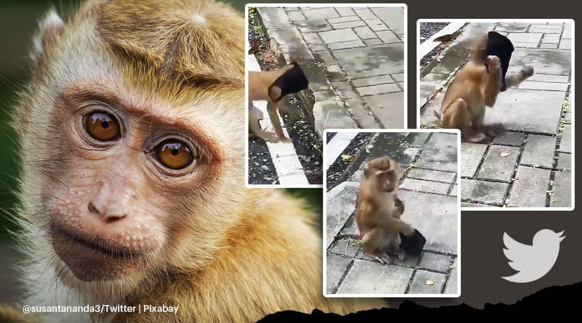 Monkey wearing face mask viral video, monkey puts on face mask trending video, monkey viral video, trending, indian express, indian express news