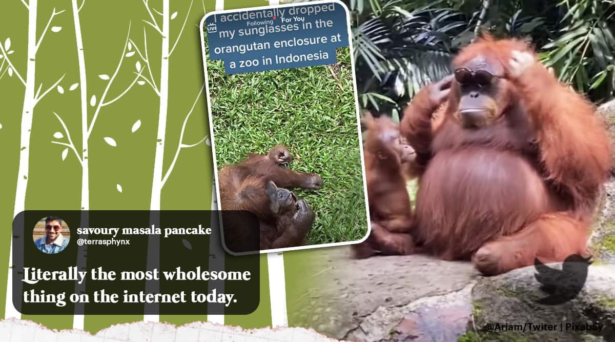 Orangutan, Orangutan indonesia, Orangutan sunglasses, mother Orangutan wear sunglasses, tourist drops sunglasses Orangutan enclosure, viral video, indian express