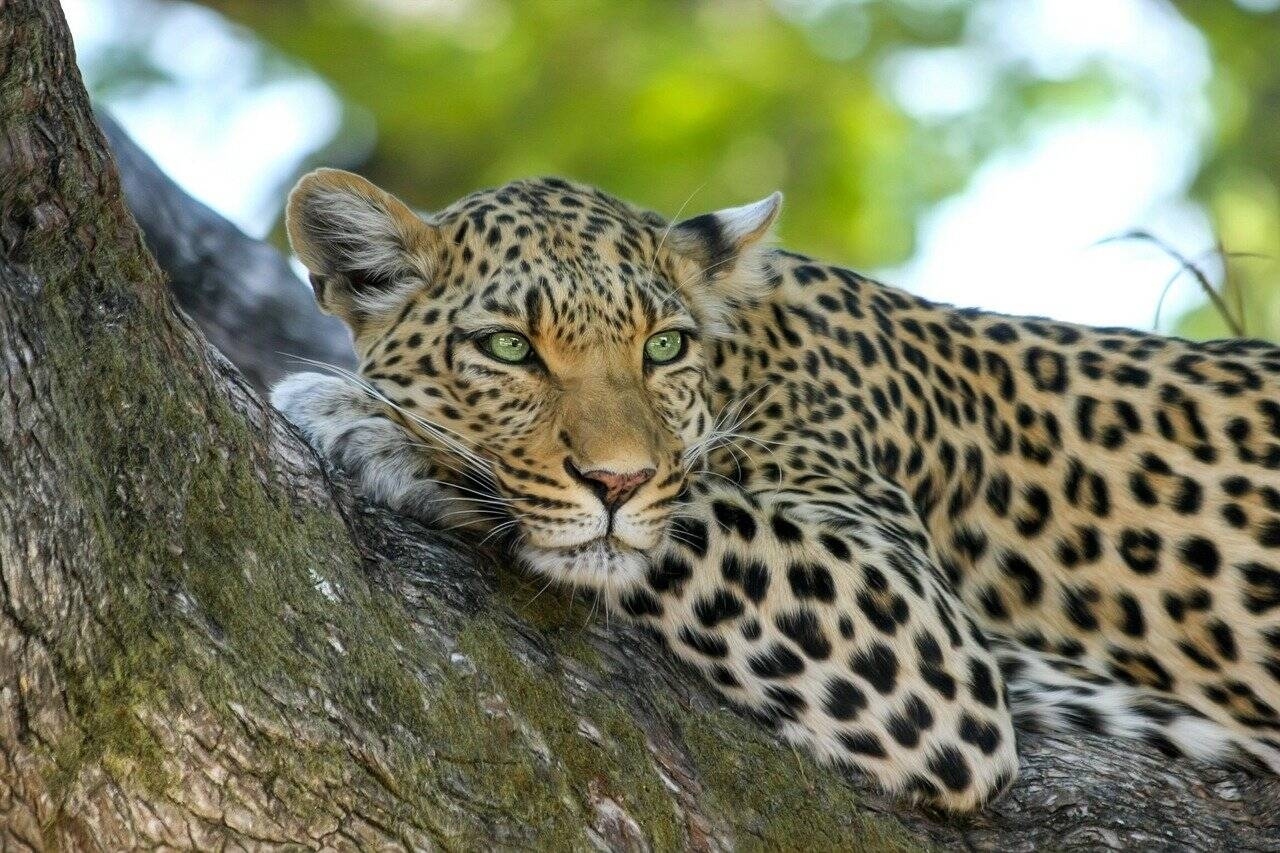Model Attacked By Leopard In Photoshoot Gone Wrong, photoshoot gone wrong Model Attacked By Leopard, leopard, animal, wild cats, trending, indian express, indian express news