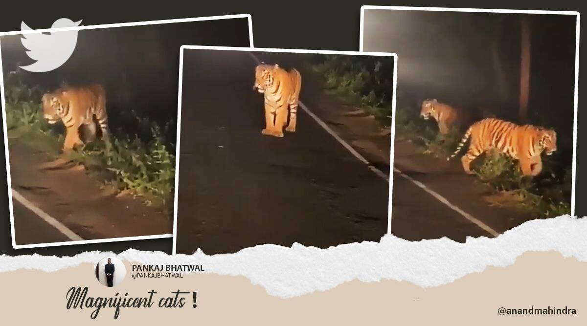 anand Mahindra tigers viral clip, tigers spotted Panchgani Maharashtra twitter reactions, tiger, tigers videos, scary tigers, trending, indian express, indian express news