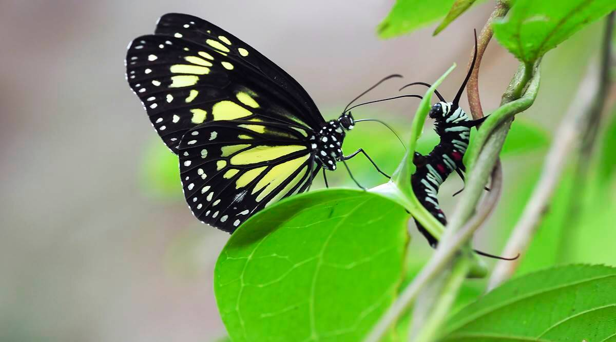 Milkweed butterflies are extra murderous than they give the impression of being