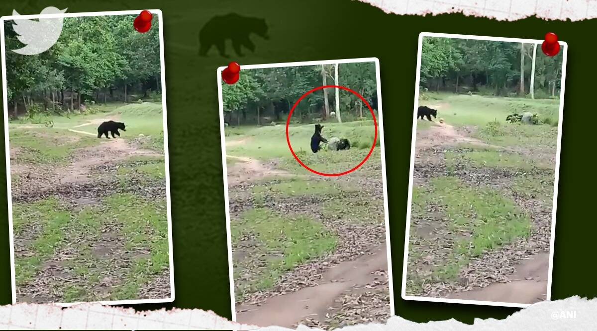 two wild bears playing football in Odisha, wild bear, wild bear Odisha, wild bear football trending, indian express, indian express news