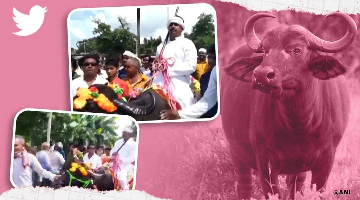 Bihar panchayat polls candidate Azad Alam buffalo to file nomination viral video, Bihar panchayat polls, Azad Alam buffalo viral video, trending, indian express, indian express news
