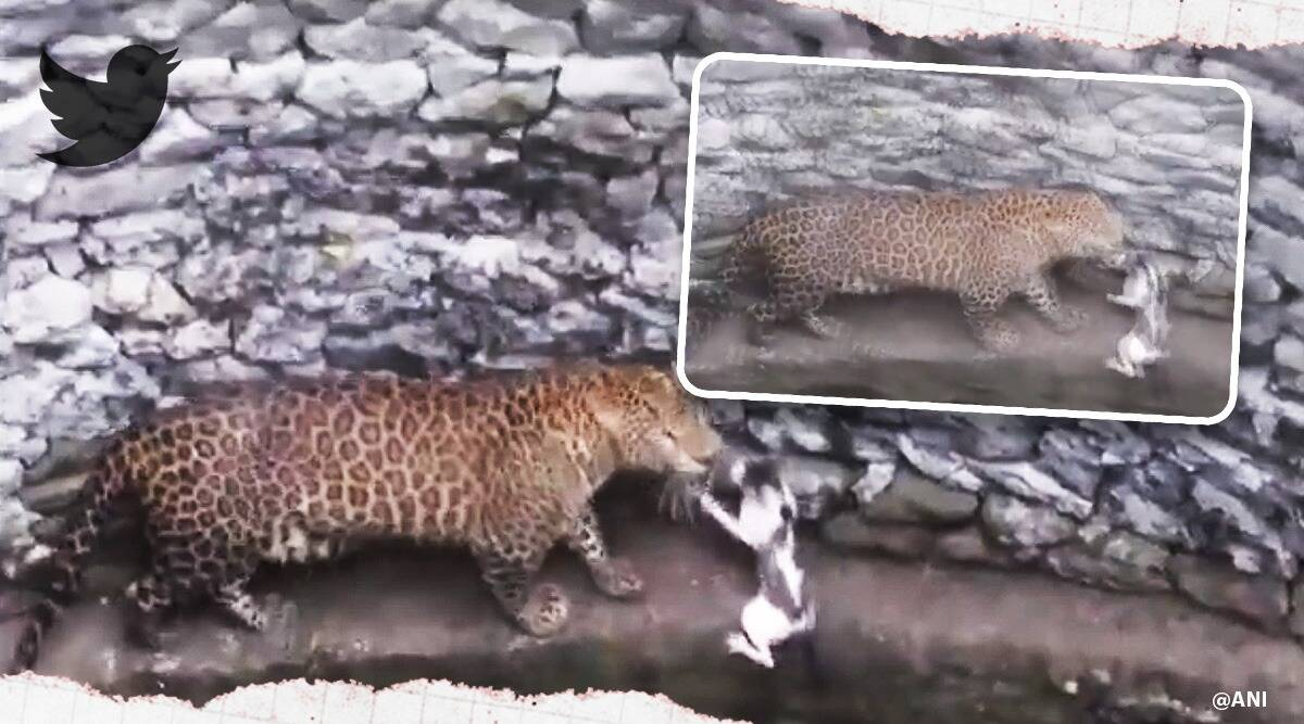 leopard cat come face-to-face falling down a well in Nashik, leopard chasing cat viral vidoe, leopard chases cat, Maharashtra, trending, indian express, indian express news