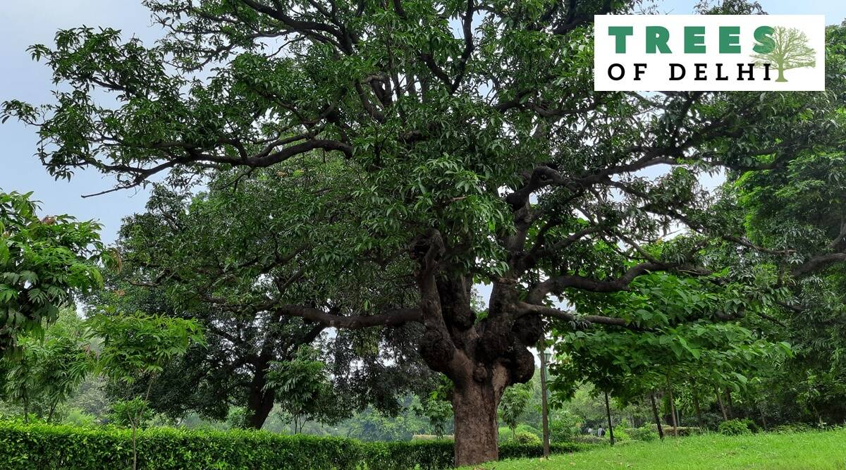 Trees of delhi, lodhi garden, delhi lodhi garden