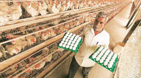 Poultry industry, Poultry farming, poultry, Covid-19, soyabean, Pune covid-19, pune poltry industry, Covid-19 impact on poultry farming, Indian express, ganpati, diwali, indian express news, pune news, current affairs