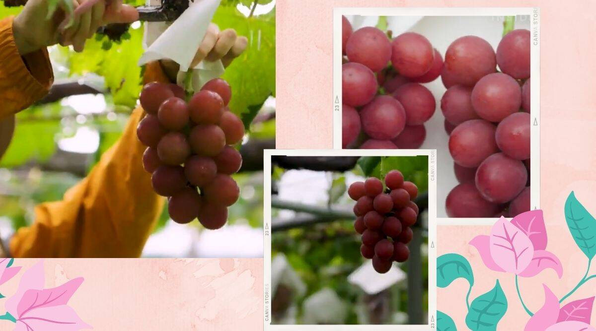 japan grape viral video, premium grapes in Japan 3500, grapes price, luxury grapes, The Ruby Roman grapes. trending, indian express, indian express news