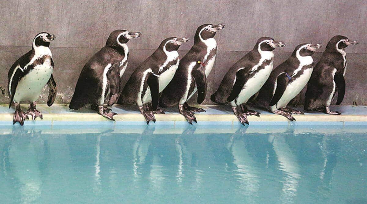 Byculla Zoo, Byculla Zoo mumbai,Byculla Zoo penguins, zoo in mumbai,BMC,penguins, penguins in india, indian express news, indian express, mumbai news, current affairs