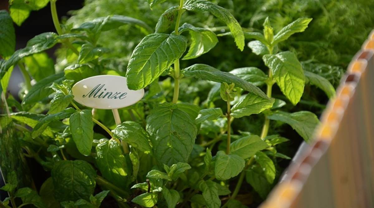 mint, how to use mint leaves, mint leaves benefits, indianexpress.com, mint leaves for health, indianexpress, uses of pudina, pudina uses, dixa bhavsar, mint tea,