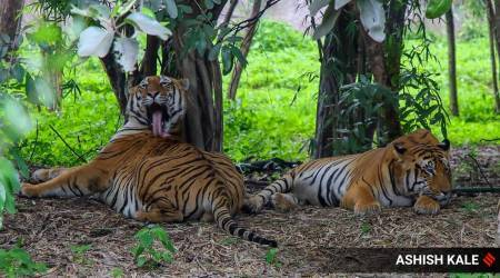 National Tiger Conservation Authority, Karnataka government, Karnataka, tiger reserve, tiger conservation, nagarhole tiger reserve, karnataka government, karnataka, NTCA, Tribals, indian express, indian express news, karnataka news, current affairs