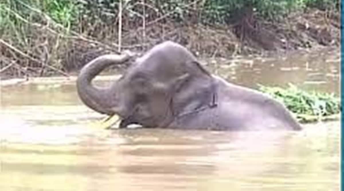 Odisha, ODRAF, Elephant stuck in river, Mahanadi river, hirakud dam, mahanadi, indian express, indian express news, current affairs, odisha news