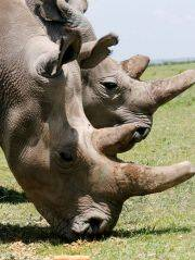 In pictures The world & last two northern white rhinos