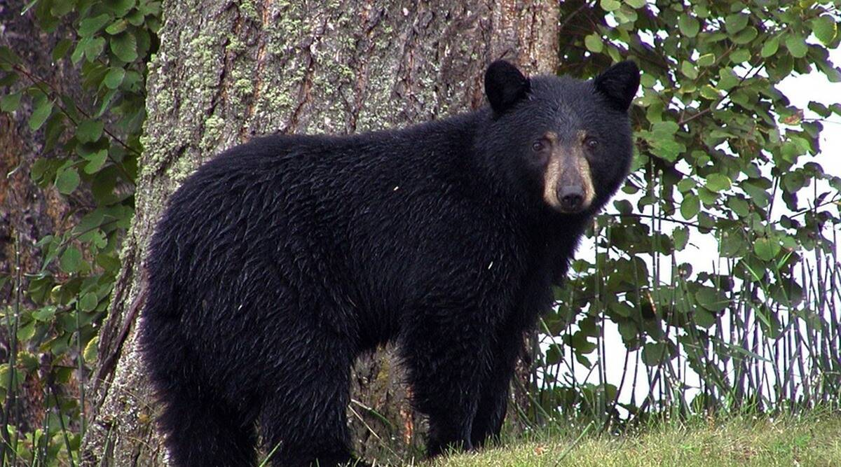 bear finds gopro viral video, Bear discovers lost GoPro, black bear lost GoPro Wyoming wilderness, trending, indian express, indian express news