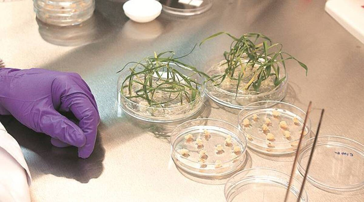 gene-edited crops, Modi, Ministry of agriculture, Pune, Pune news, Indian express, Indian express news, Pune latest news