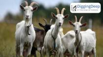 Meet the first domesticated goats from Western Iran