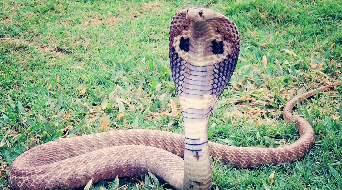 indianexpress.com - Sushant Kulkarni - Man uses cobra as 'murder weapon' to stage own death for $5 million life insurance